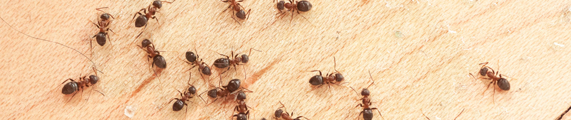 Ant treatments
